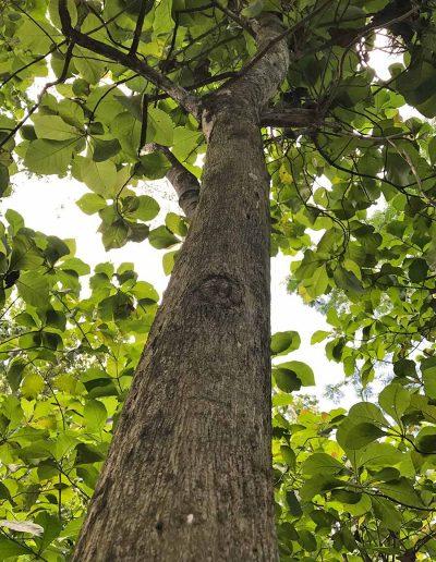 mature teak tree